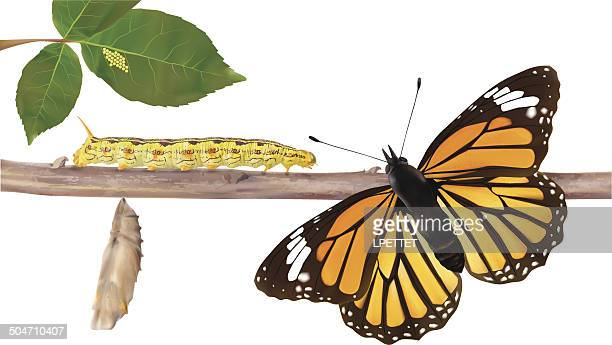 life cycle of butterflies - vector illustration - caterpillar stock illustrations