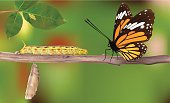 Life Cycle Of Butterflies - Vector