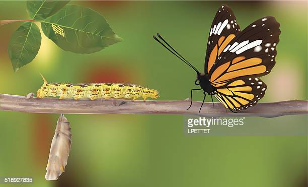 life cycle of butterflies - vector - caterpillar stock illustrations