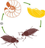 Life cycle of cockchafer. Sequence of stages of development of cockchafer (Melolontha melolontha) from egg to adult beetle