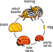 Life cycle of Colorado potato beetle or Leptinotarsa decemlineata. Sequence of stages of development from egg to adult insect