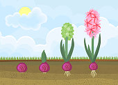 Life cycle of hyacinth plant. Stages of growth from bulb to adult flowering plant