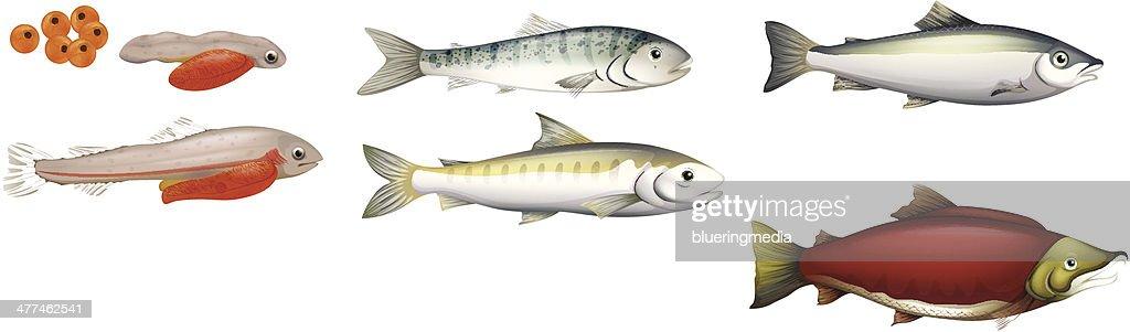 Life Cycle of Salmons