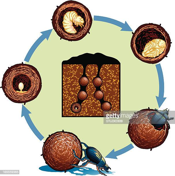 life cycle of the dung beetle - life cycle stock illustrations