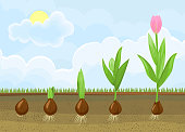 Life cycle of tulip plant. Stages of growth from bulb to adult flowering plant