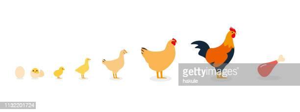 鶏の一生 - 家禽点のイラスト素材/クリップアート素材/マンガ素材/アイコン素材