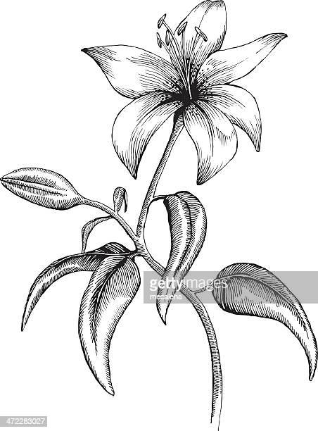 lilly - lily stock illustrations, clip art, cartoons, & icons