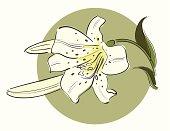 Lily flower bud