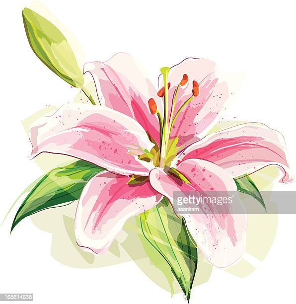 lily flower - lily stock illustrations, clip art, cartoons, & icons
