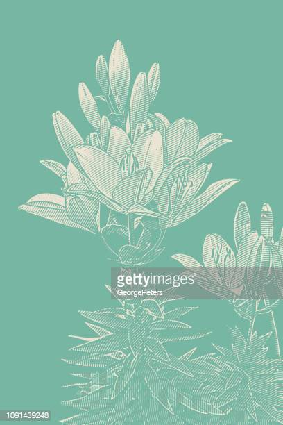 lily flowering plant - easter lily stock illustrations