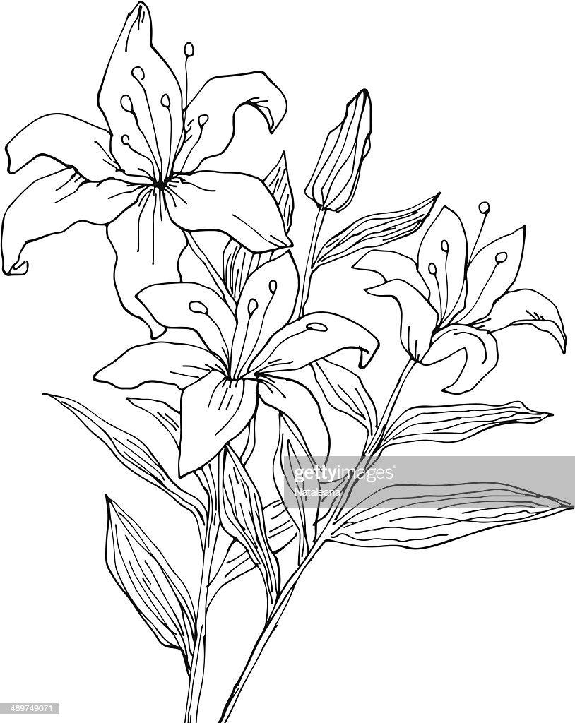 Lily flowers hand drawn illustration