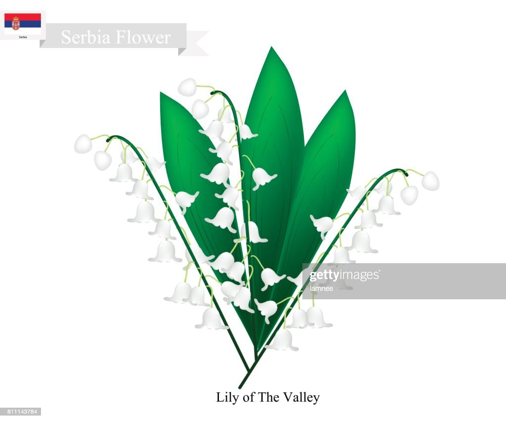 Lily of the valley the national flower of serbia vector art getty lily of the valley the national flower of serbia vector art izmirmasajfo