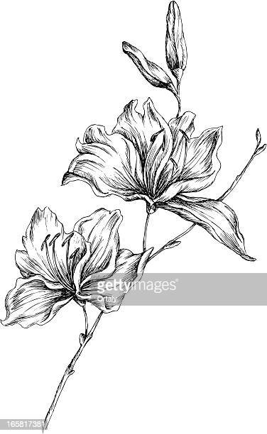 lily - pencil drawing stock illustrations, clip art, cartoons, & icons