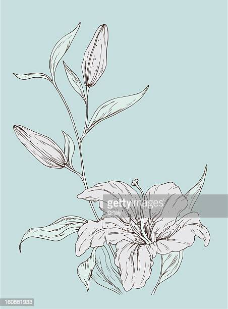 lily with buds - lily stock illustrations, clip art, cartoons, & icons