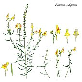Linaria vulgaris, common toadflax, yellow toadflax or butter-and-eggs is a species of toadflax, snapdragon, Plantaginaceae family, hand drawn vector colorful illustrations, doodle ink sketch isolated