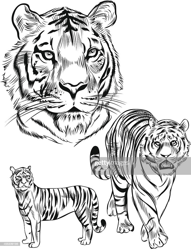 Ligne dessin de tigre clipart vectoriel getty images - Tigre a colorier ...