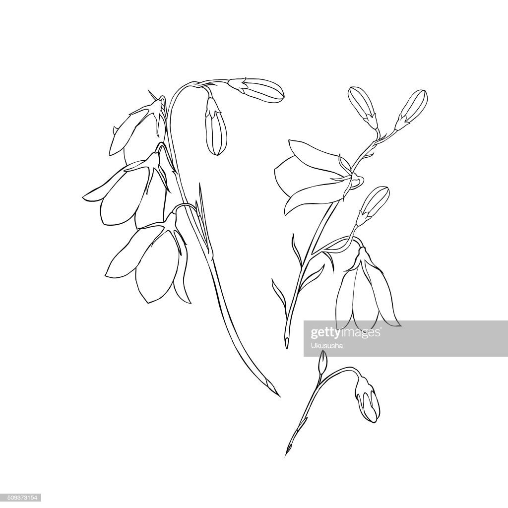 linear vector drawing bellflower on a white background