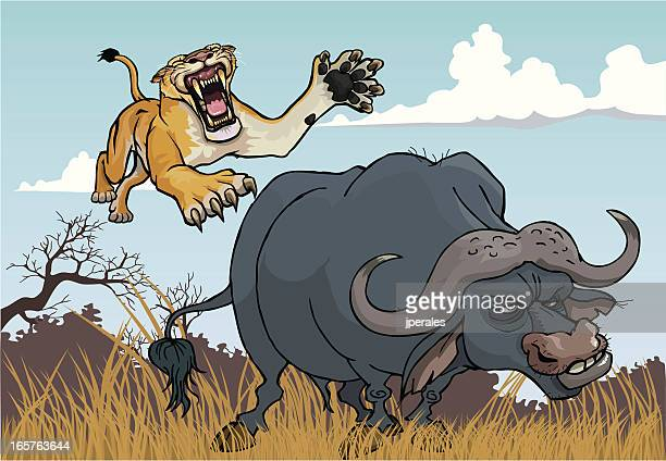 lioness hunting - african buffalo stock illustrations, clip art, cartoons, & icons