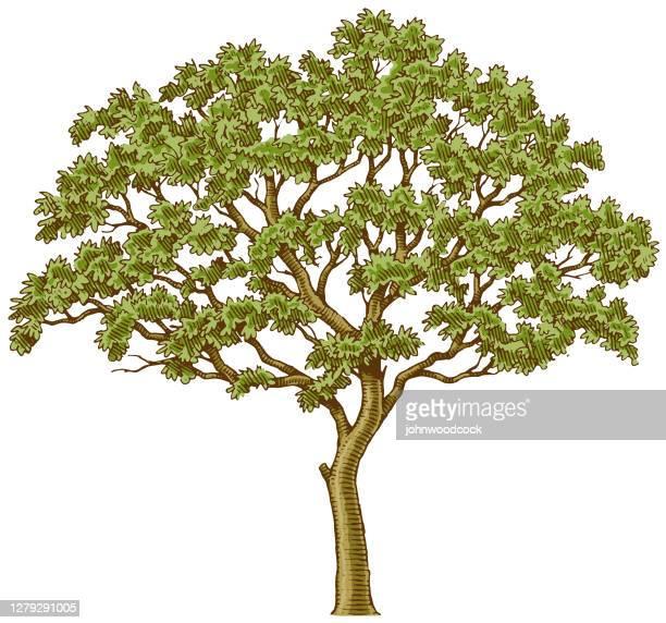 ilustraciones, imágenes clip art, dibujos animados e iconos de stock de pequeña ilustración de tinta de árbol - árbol de hoja caduca