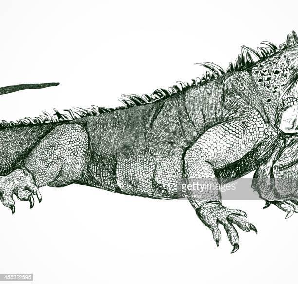 ilustraciones, imágenes clip art, dibujos animados e iconos de stock de lagarto - iguana