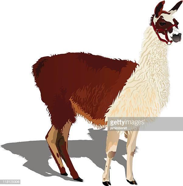 Arreo de Llama (Vector