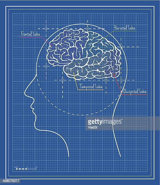 lobes of the brain blueprint - temporal lobe stock illustrations, clip art, cartoons, & icons