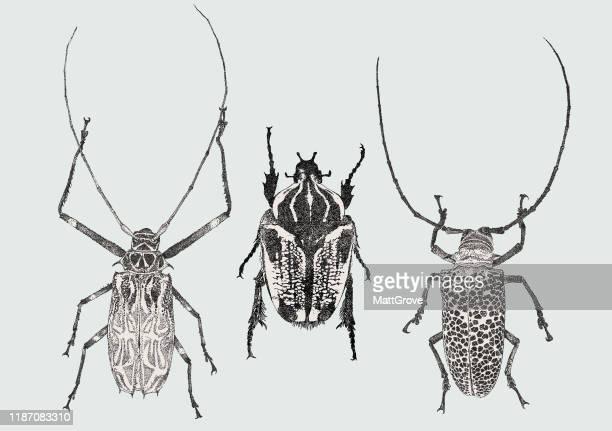 longhorn beetles & goliath beetle - art product stock illustrations