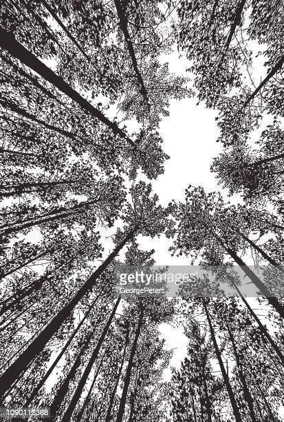 looking up at pine forest with fisheye lens - pen and ink stock illustrations