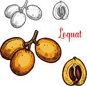 Loquat vector sketch tropical fruit