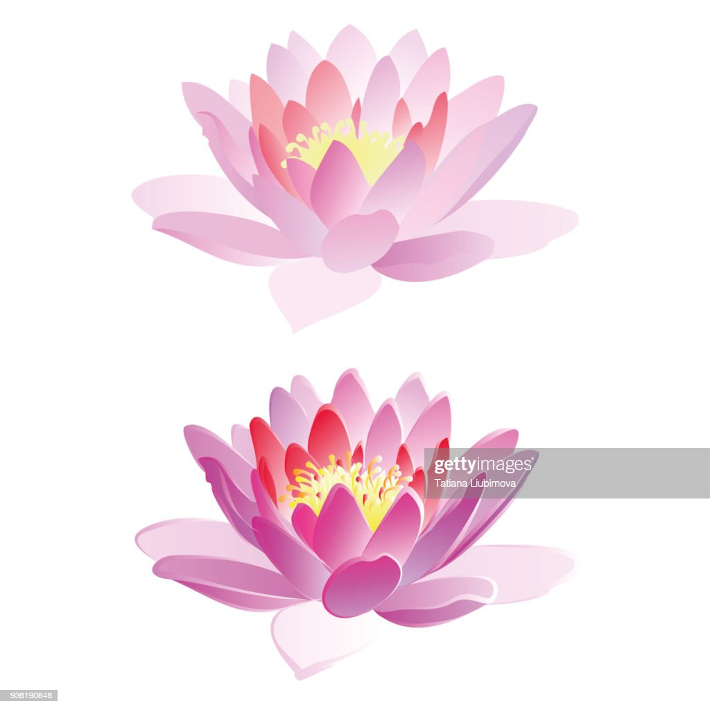 Lotus flowers, vector illustration.