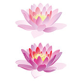 Lotus flowers, vector illustration.