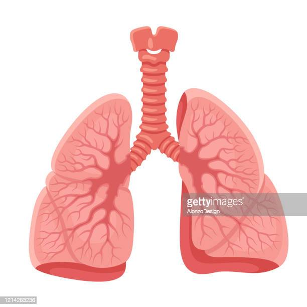 lungs anatomy. human internal organ. - lung stock illustrations