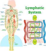 Lymphatic system anatomical vector illustration diagram, educational medical scheme.