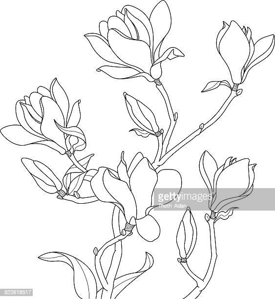 magnolia blossoms drawing - flowering trees stock illustrations, clip art, cartoons, & icons
