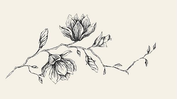 magnolia drawing - pencil drawing stock illustrations