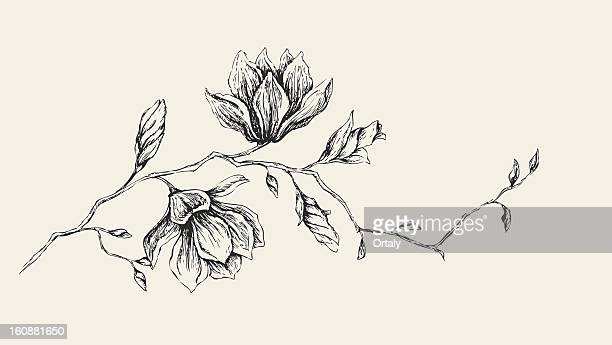 magnolia drawing - pencil drawing stock illustrations