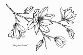 Magnolia flower drawing illustration. Black and white with line art on white backgrounds.