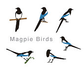 Magpie bird poses set, vector illustration