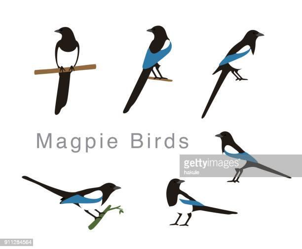 magpie bird poses set, vector illustration - magpie stock illustrations