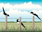 Magpies on the fence