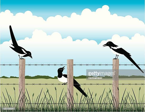 magpies on the fence - magpie stock illustrations