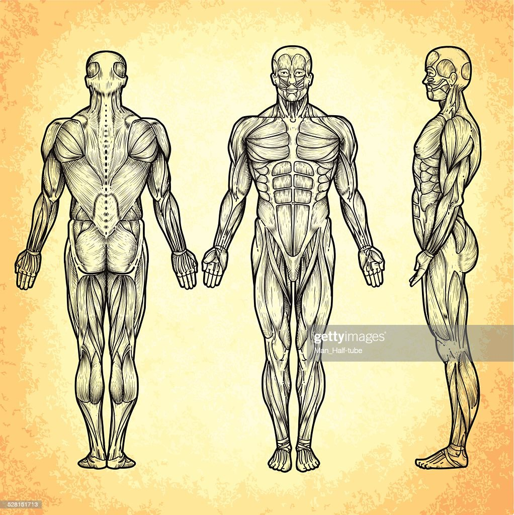 Male Anatomy Vector Art | Getty Images