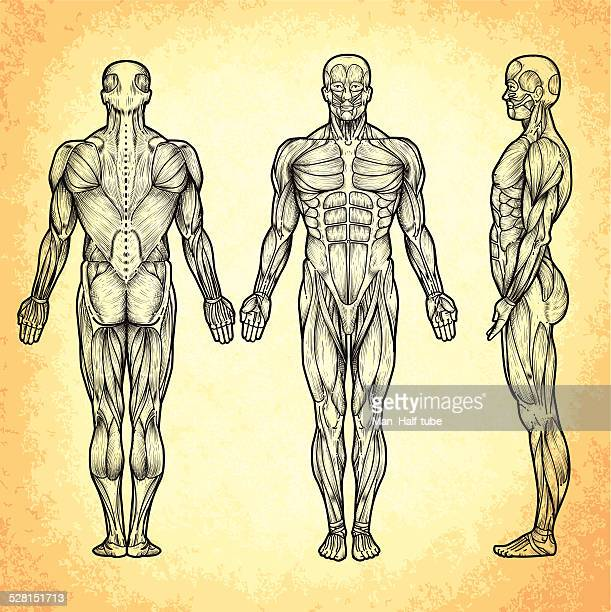 male anatomy - tissue anatomy stock illustrations, clip art, cartoons, & icons