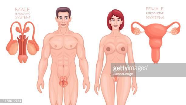 ilustraciones, imágenes clip art, dibujos animados e iconos de stock de sistema reproductivo masculino y femenino. - genitales femeninos