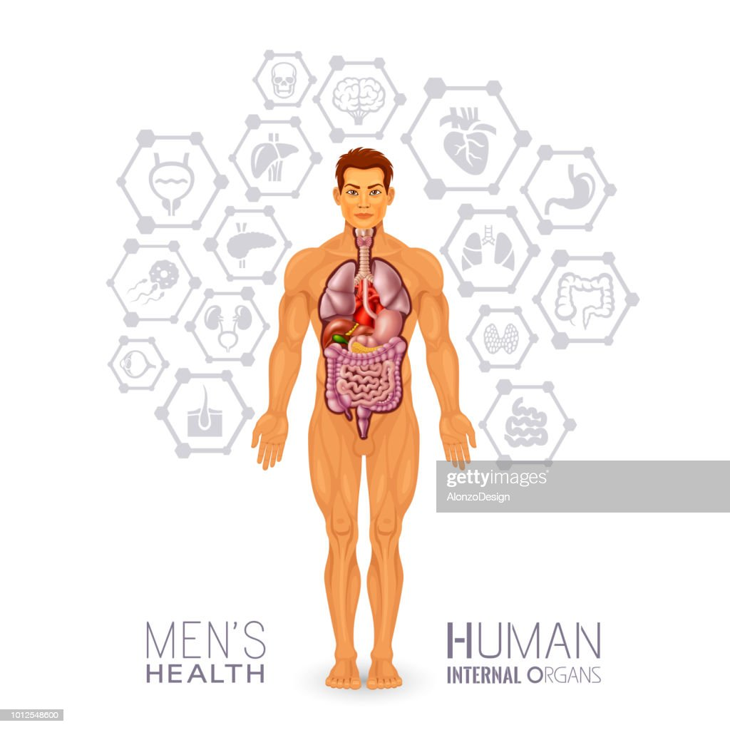 Male Body And Internal Organs Vector Art Getty Images