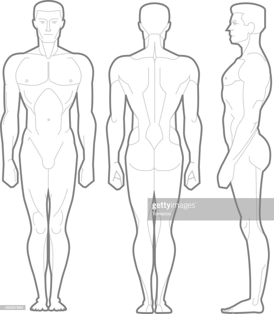 Männliche Körper Stehen Anatomische Abbildung Vektorgrafik | Getty ...
