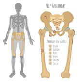 Male hip bone anatomy