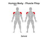 Male Human Body - Muscle map, Deltoid