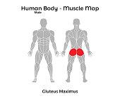 Male Human Body - Muscle map, Gluteus Maximus