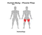 Male Human Body - Muscle map, Hamstrings